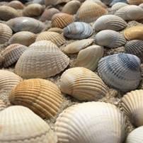 Muschelschale, Exoskelett, Schalentier, Meeres