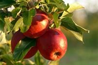Obst, Apfel, Malum, Rot, Gesund, Apfelbaum, Apfelernte